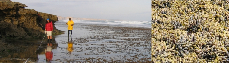 Figure 2. A rocky intertidal reef in Victoria, Australia, with a close up of the brown alga, Hormosira banksii.