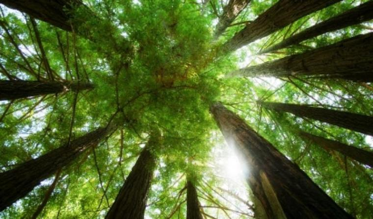 ring_of_redwoods_wallpaper_plants_nature_wallpaper_1222